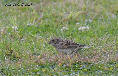 Lapland Longspur  - 11/10/2017 - Crown Pointe (east)
