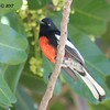 Painted Redstart  - 11/10/2017 - Crown Pointe (east)