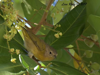 Nashville Warbler  - 11/10/2017 - Crown Pointe (east)