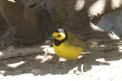 Hooded Warbler - 12/02/2017 - Del Mar