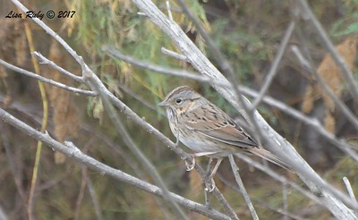 Lincoln's Sparrow - 10/1/2017 - Del Mar Public Works