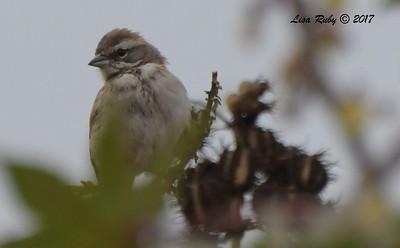 Black-throated Sparrow- 10/01/2017 - Del Mar Public Works