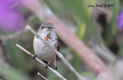 Allen's Hummingbird  - 11/20/2017 - Encinitas Community Park