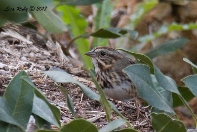 Lincoln's Sparrow - 11/20/2017 - Encinitas Community Park