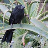 Groove-billed Ani - 11/20/2017 - Encinitas Community Park