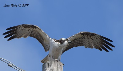 Osprey - 10/10/2017 - Famosa Sough