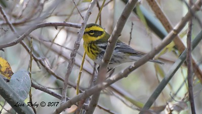 Townsend's Warbler - 10/10/2017 - Famosa Slough south