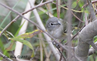 Cssin's Vireo  - 10/10/2017 - Famosa Slough south