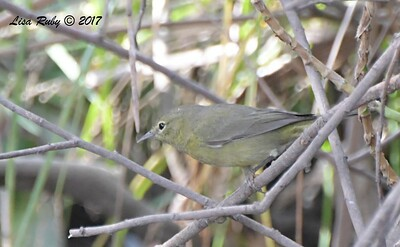 Orange-crowned Warbler - 10/10/2017 - Famosa Slough south