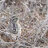 Savannah Sparrow  - 12/28/2017 - Fiesta Island, southeast scrub