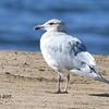 Glaucous-winged hybrid Gull  - 12/28/2017 - Fiesta Island