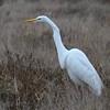 Great Egret - 12/28/2017 - Fiesta Island, southeast scrub
