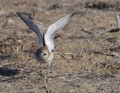 Mountain Plover - 11/22/2017 - Fiesta Island Dog Run