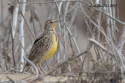 Western Meadowlark - 11/15/2017 - Fiesta Island Dog Run