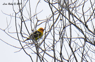Western Tanager - 5/6/2017- Roselle St. Riparian area