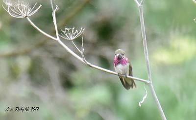 Calliope Hummingbird - 5/6/2017 - Flintkote