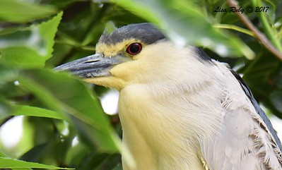 Black-crowned Night Heron  - 5/26/2017 - Imperial Beach Sports Park