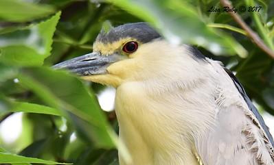 Black-crowned Night Heron  - 5/26/2017 - Imperial Beach Sports Park