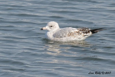Ring-billed Gull -  12/24/2017 - 7th Street, Imperial Beach