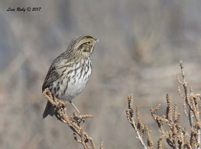 Savannah Sparrow -  12/24/2017 - 7th Street, Imperial Beach