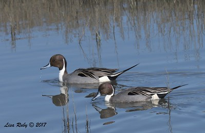 Northern Pintails -  12/24/2017 - 7th Street, Imperial Beach
