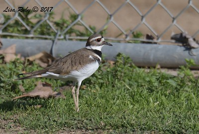 Killdeer -  12/24/2017 - Sunset Ball Fields