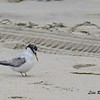 Least Tern - 8/27/2017 - Imperial Beach, walk to river mouth