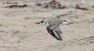 Snowy Plover - 8/27/2017 - Tijuana River Mouth