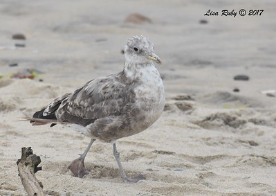 California Gull? - 8/27/2017 - Imperial Beach, walk to river mouth