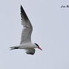 Caspian Tern r - 8/27/2017 - Imperial Beach, walk to river mouth