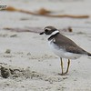 Semi-palmated Plover  - 8/27/2017 - Imperial Beach near YMCA Surf Camp