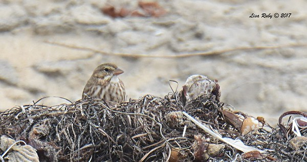 Large-billed Savannah Sparrow - 8/27/2017 - Imperial Beach, walk to river mouth