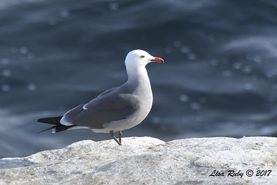 Heerman's Gull - 12/10/2017 - La Jolla Cove
