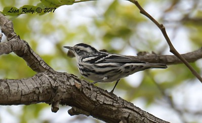 Black and White Warbler   - 12/10/2017 - La Jolla Cove
