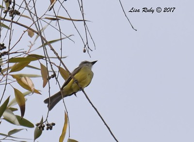 Possible Tropical Kingbird   - 12/10/2017 - La Jolla Cove