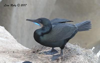 Brandt's Cormorant - 12/10/2017 - La Jolla Cove