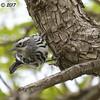 Black and White Warbler   - 12/10/2017 - La Jolla Cove