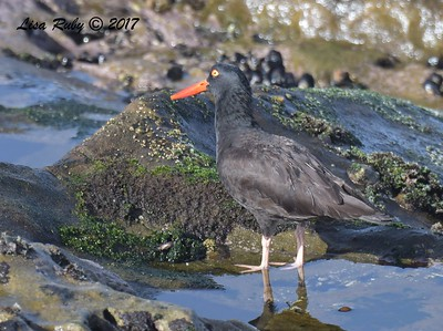 Black-Oystercatcher   - 12/10/2017 - La Jolla Cove