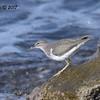 Spotted Sandpiper  - 12/10/2017 - La Jolla Cove