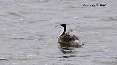 Western Grebe with baby - 6/11/-2017 - Lake Hodges, Bernardo Bay Trail