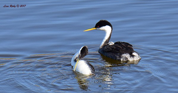 Western Grebe pair with baby - 6/14/2017 - Lake Hodges Pedestrian Bridge