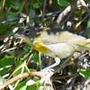 Yellow-breasted Chat juvenile  - 6/14/2017 - Lake Hodges Bernardo Bay Trail