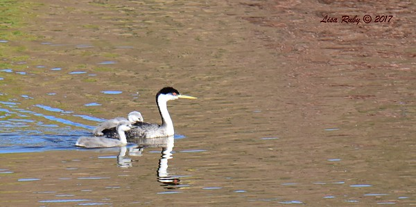 Western Grebes adult and two juveniles - 6/14/2017 - Lake Hodges Bernardo Bay Trail