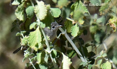Least Bell's Vireo (juvenile I think)  - 6/14/2017 - Lake Hodges Bernardo Bay Trail