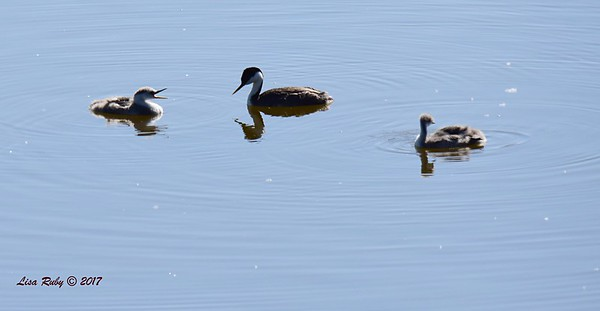 Western Grebe Family Silhouette - 6/14/2017 - Lake Hodges Pedestrian Bridge