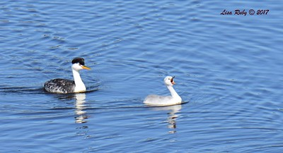Clark's Grebes adult and juvenile - 6/14/2017 - Lake Hodges Pedestrian Bridge