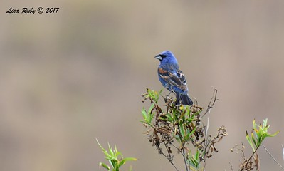 Blue Grosbeak  - 6/21/2017 - Penasquitos Canyon West