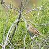 Grasshopper Sparrow  - 6/21/2017 - Penasquitos Canyon West