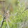 Gasshopper Sparrow - 6/21/2017 - Penasquitos Canyon West