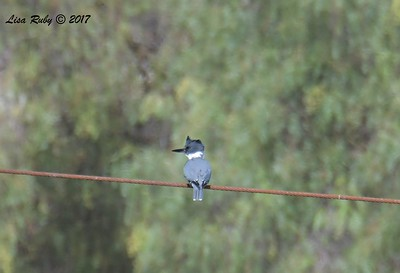 Belted Kingfisher  - 11/3/2017 - Poway Pond